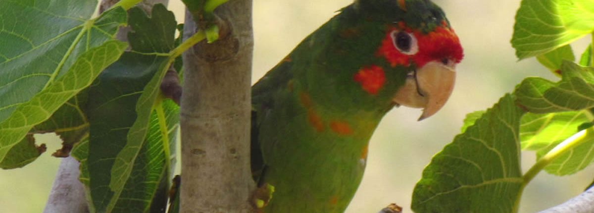 Mitred Parakeet Inka Trail
