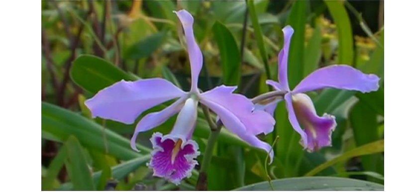 Moyobamba Orchideen