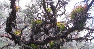 Bromelien in den Anden