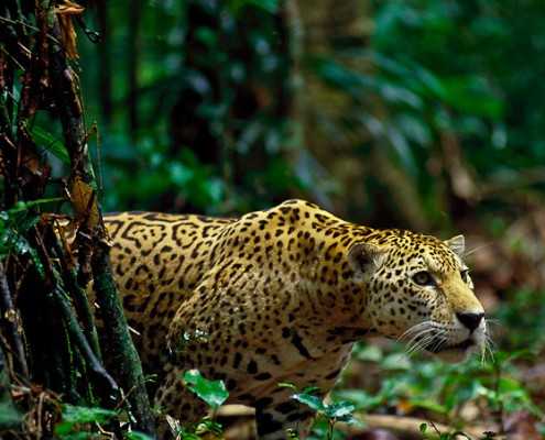 Jaguar und Puma sind die Spitzenprädatoren des Gebietes im Manu Park