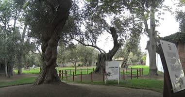 300 Jahre alter Olivenbaum