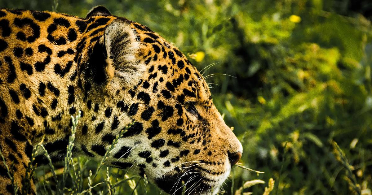 jaguar im amazonas