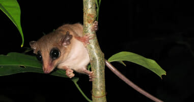 Mouse Possum Tambopata.