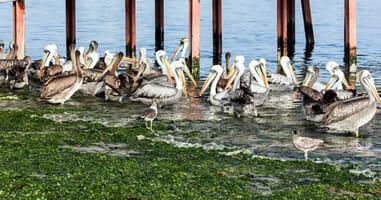 Pelikane im Hafen von Paracas