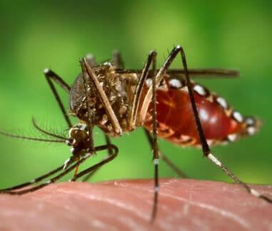 Aedes aegypti Mücke - Überträger des Gelbfiebervirus