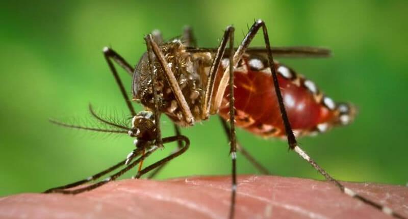Gelbfieber Mücke Aedes Aegypti