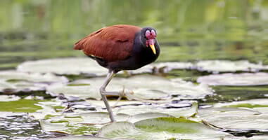 Jacana National Park Manu